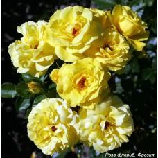 Роза флориб. Фрезия